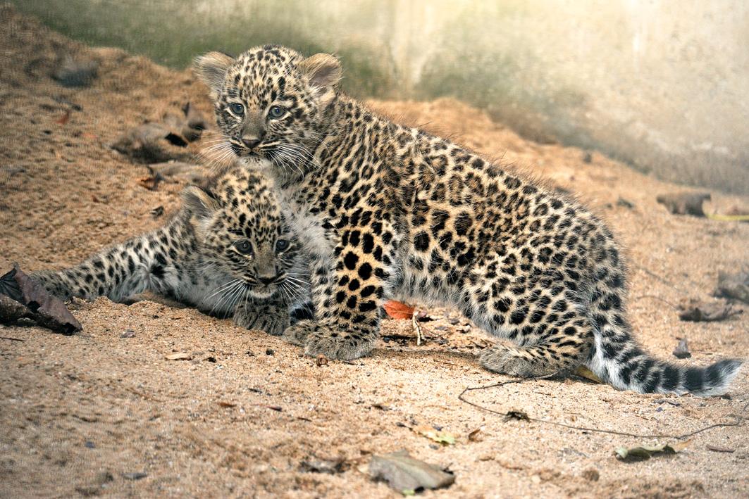 Startslider Leoparden geboren